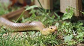 Aesculapian Rattenschlange mit der Zunge heraus Stockfoto