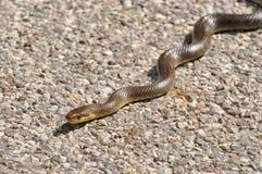 Aesculapian Schlange auf einer Straße, die ein sunbath nimmt Stockbild