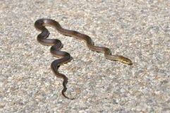 Aesculapian Schlange auf einer Straße, die ein sunbath nimmt Stockfoto