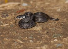 Aesculapian Schlange oder Zamenis longissimus Stockfotografie