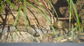 Aesculapian Schlange oder Zamenis longissimus Lizenzfreie Stockbilder
