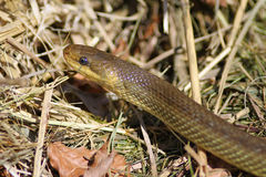 Aesculapian Snake. Close up of a Aesculapian Snake Stock Photography