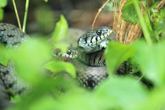 Aesculapian snake Stock Photo