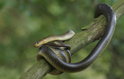Aesculapian Snake. Coiled around a tree Stock Image