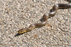Aesculapian snake on a street taking a sunbath. Aesculapian snake on an asphalt road taking a sunbath at noon stock image
