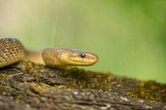 Aesculapian snake Zamenis longissimus in Czech Republic. Wildlife photo of Aesculapian snake Zamenis longissimus royalty free stock photos