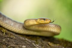 Aesculapian snake Zamenis longissimus in Czech Republic. Wildlife photo of Aesculapian snake Zamenis longissimus royalty free stock photo