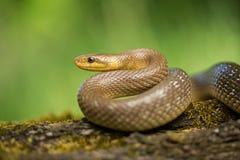 Aesculapian snake Zamenis longissimus in Czech Republic. Wildlife photo of Aesculapian snake Zamenis longissimus stock photo