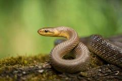 Aesculapian snake Zamenis longissimus in Czech Republic. Wildlife photo of Aesculapian snake Zamenis longissimus stock photos