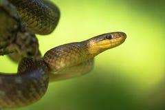 Aesculapian snake Zamenis longissimus in Czech Republic. Wildlife photo of Aesculapian snake Zamenis longissimus stock photography