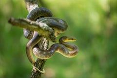 Aesculapian snake Zamenis longissimus in Czech Republic. Wildlife photo of Aesculapian snake Zamenis longissimus royalty free stock image