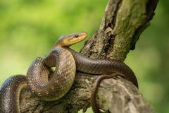 Aesculapian snake Zamenis longissimus in Czech Republic. Wildlife photo of Aesculapian snake Zamenis longissimus royalty free stock photography