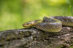 Aesculapian snake Zamenis longissimus in Czech Republic. Wildlife photo of Aesculapian snake Zamenis longissimus royalty free stock images
