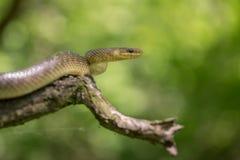 Aesculapian snake Zamenis longissimus in Czech Republic. Wildlife photo of Aesculapian snake Zamenis longissimus stock images