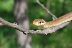 Aesculapian snake (Zamenis longissimus) Royalty Free Stock Photography
