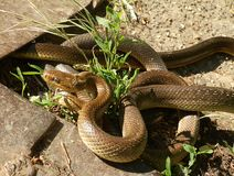 Aesculapian snakes mating. Aesculapian snakes Zamenis longissimus mating, Slovakia, Europe stock photos