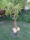 Aesculus californica, California Buckeye, California Horse-chestnut Stock Images