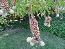 Aesculus californica, Kalifornien-Rosskastanie, Kalifornien-Rosskastanie Lizenzfreie Stockfotos
