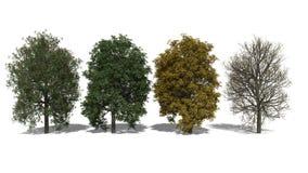 Aesculus Χ carnea (Four Seasons) απεικόνιση αποθεμάτων