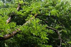 Aesculus chinensis Lizenzfreie Stockfotos