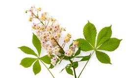 Aesculus de la castaña de Indias f con los leawes y la flor Aislado en wh fotografía de archivo