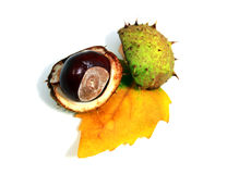 Aesculus fruit Stock Images