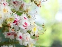 Aesculus hippocastanum Stockfoto