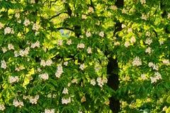 Aesculus hippocastanum allgemein bekannt als Rosskastanien- oder Conkerbaum in der Blüte Stockfotos