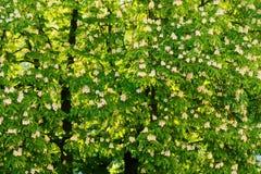 Aesculus hippocastanum allgemein bekannt als Rosskastanien- oder Conkerbaum in der Blüte Lizenzfreie Stockbilder
