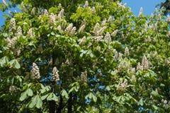 Aesculus hippocastanum Baum in der Blüte im Frühjahr Lizenzfreie Stockbilder