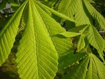 Aesculus hippocastanum - Blätter Stockfoto