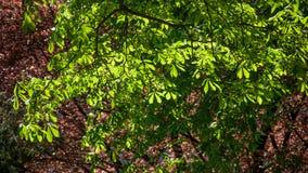 Aesculus hippocastanum Blätter in einem allgemeinen Garten Lizenzfreies Stockfoto