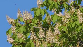 Aesculus hippocastanum. Blooming chestnut in may against sky. stock video