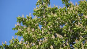 Aesculus hippocastanum. Blooming chestnut in spring against sky. stock video footage