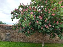 Free Aesculus Hippocastanum Carnea Nice Flowering Tree Above Stone Wall Nicely Assembled From Dark Basat Stone Covered With Burnt Tiles Royalty Free Stock Photos - 185295238