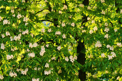 Aesculus hippocastanum commonly known as horse-chestnut or conker tree in blossom. Stock Photos