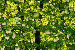 Aesculus hippocastanum commonly known as horse-chestnut or conker tree in blossom. Royalty Free Stock Photo