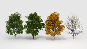 Aesculus hippocastanum four seasons Stock Image