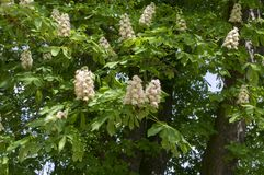 Aesculus hippocastanum Frühjahrbaumaste, weiße blühende Pflanze und Grünblätter Lizenzfreie Stockbilder