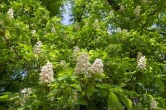 Aesculus hippocastanum Frühjahrbaumaste, weiße blühende Pflanze und Grünblätter Stockbild