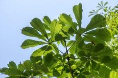 Aesculus hippocastanum frische Federblätter auf Niederlassungen Stockfotos
