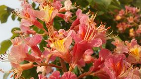 Aesculus Hippocastanum (Horse Chestnut) with Pink Blossoms. Royalty Free Stock Images