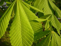 Aesculus hippocastanum - leaves Stock Photo