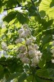 Aesculus hippocastanum Niederlassungen in der Blüte Stockbild