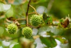 Aesculus hippocastanum Pferdekastanienbaumgrün-Nussdetail Lizenzfreie Stockfotos