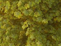 Aesculus hippocastanum Spring Stock Image