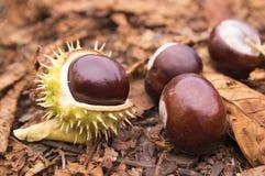 Aesculus hippocastanum trägt Früchte, dunkelbraune und beige Farbe Stockfoto