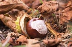 Aesculus hippocastanum trägt Früchte, dunkelbraune und beige Farbe Lizenzfreie Stockbilder