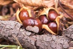 Aesculus hippocastanum trägt Früchte, dunkelbraune und beige Farbe Lizenzfreies Stockfoto