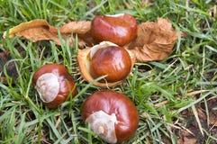 Aesculus hippocastanum trägt Früchte, dunkelbraune und beige Farbe Stockfotografie